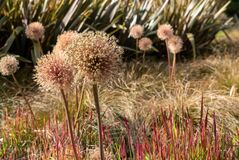 Allium seedheads growing amongst ornamental grasses. Photographed in Chiswick, West London UK on a sunny afternoon in June.
