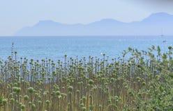 Allium selvaggio Immagine Stock Libera da Diritti