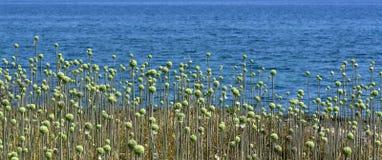 Allium selvaggio Fotografie Stock Libere da Diritti