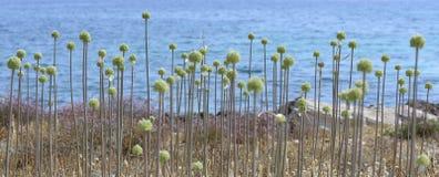 Allium selvaggio Fotografia Stock