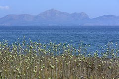 Allium selvaggio Immagine Stock
