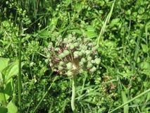 Allium selvaggio Fotografie Stock
