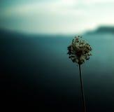 Allium selvaggio ed isola greca Fotografia Stock