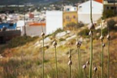 Allium selvaggio su Creta Immagine Stock