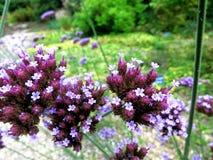 Allium Serie άνθος 2 Στοκ Εικόνα