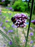 Allium Serie άνθος 1 Στοκ εικόνες με δικαίωμα ελεύθερης χρήσης
