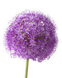 Allium sharp Royalty Free Stock Images