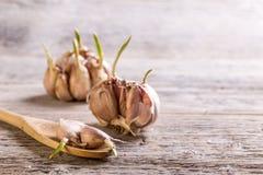 Allium SP stock afbeeldingen