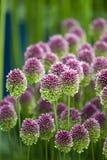 Allium sphaerocephalon Stock Photos