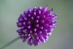 Allium sphaerocephalon Stock Photography