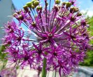Closeup of purple blooming ball-headed leek. Allium sphaerocephalon, widespread ornamental plant, popular ornamental plant for stone Gardens, raw edible flower stock photography