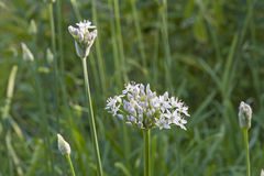Allium tuberosum - East Asian spice plant. Allium tuberosum - is a  herb from the genus leek Allium. It is mainly used in East Asian cuisine Stock Photos