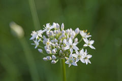 Allium tuberosum - East Asian spice plant Stock Photography
