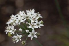 Allium tuberosum orientale dell'aglio Fotografie Stock