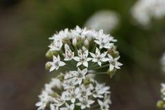 Allium tuberosum orientale dell'aglio Fotografia Stock