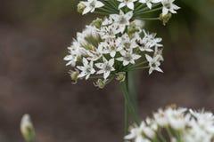 Allium tuberosum orientale dell'aglio Fotografia Stock Libera da Diritti