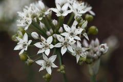 Allium tuberosum orientale dell'aglio Immagine Stock