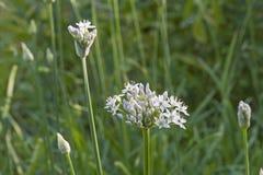 Allium tuberosum - pianta asiatica orientale della spezia Fotografie Stock
