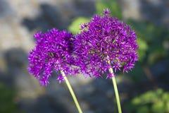 Allium, ultra violet allium balls, sunlight Royalty Free Stock Images