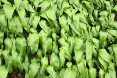 Allium ursinum Stock Photos