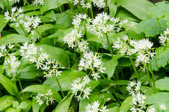 Allium ursinum. White flowering Allium ursinum in spring in the garden stock photography