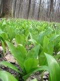 Allium ursinum Στοκ εικόνα με δικαίωμα ελεύθερης χρήσης