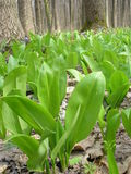 Allium ursinum Στοκ φωτογραφία με δικαίωμα ελεύθερης χρήσης