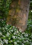 Allium Ursinum - aglio selvaggio - agli orsini - tele rigide Fotografie Stock Libere da Diritti