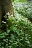 Allium Ursinum - aglio selvaggio - agli orsini - tele rigide Fotografia Stock