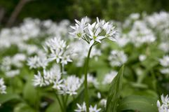Allium ursinum bear`s garlic in bloom, sunlight. Edible plant growing in forest, blossom with white flowers in green foliage royalty free stock photography
