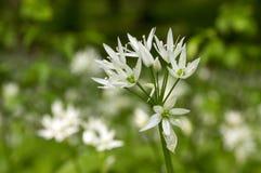 Allium ursinum bear`s garlic in bloom, sunlight