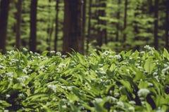 Allium Ursinum plants blooming covering the forest in spring. Allium Ursinum or bear`s garlic flowers covering the green forest in spring royalty free stock photography