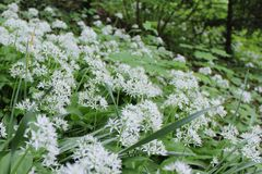 The Allium ursinum is blooming in May. royalty free stock photos