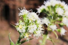 Allium ursinum with brown background and bee.  royalty free stock images