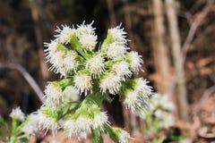 Allium ursinum, close up photo.  stock image