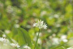 Allium ursinum flower bloomin in spring. Wild allium ursinum or bear`s garlic flower blooming in a springtime woodland stock images