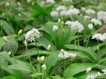 Allium ursinum royalty free stock images