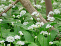 Allium ursinum. In a forest in the spring time royalty free stock photos