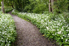 Allium ursinum. Grows in deciduous woodlands with moist soils, preferring slightly acidic conditions. It flowers before deciduous trees leaf in the spring royalty free stock image