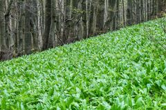 Allium ursinum, known as ramsons. Allium ursinum, known as ramsons, in the forest Stock Photography