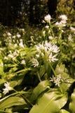 Allium ursinum or Ramsons. Wild Garlic stock photography
