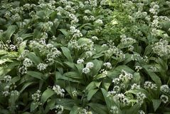 Allium ursinum white flowers. Closeup royalty free stock photos
