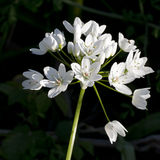 Allium ursinum - wild garlic in wood.White flowers. Royalty Free Stock Photos