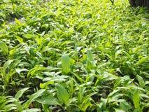 Allium ursinum wild herb. Allium ursinum known as ramsons, wood garlic, bear`s garlic etc - wild herb Stock Photos