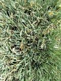 Allium VAR φύλλωμα στοκ εικόνες