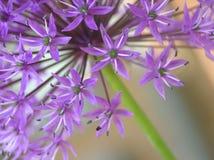 Allium viola Fotografia Stock Libera da Diritti