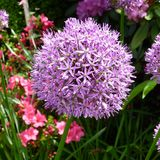 Allium viola Immagine Stock