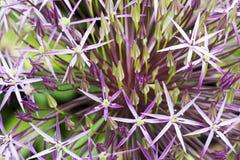 Allium viola Immagini Stock