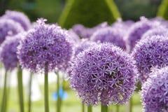 Allium viola 3 Fotografie Stock Libere da Diritti