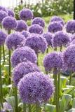 Allium viola 4 Fotografie Stock Libere da Diritti